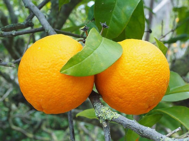 תפוזים מכילים ויטמין c המחזק את מערכת החיסון
